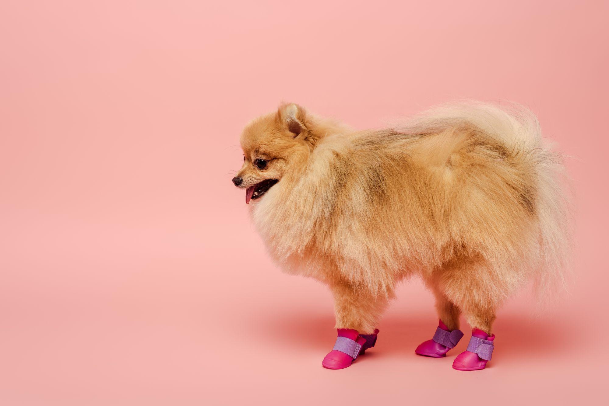 cute pomeranian in shoes